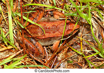 Wood Frog Rana sylvatica - Wood Frogs Rana sylvatica are...