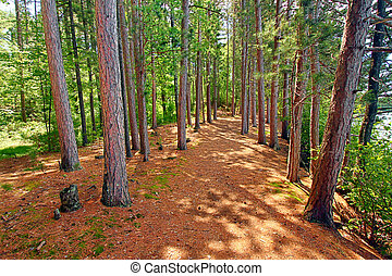 Northwoods Wisconsin Pine Forest - Pine forests dominate the...