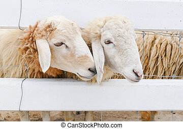 Two sheep in the farm - Two sheep in farm,Thailand