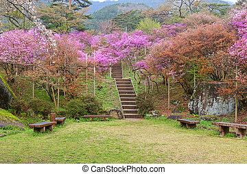 Azaleas blossoming at Tenpaku Park in Nagiso, Nagano during Spring in Japan
