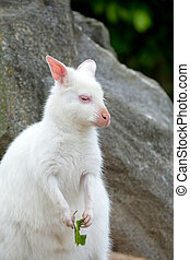 Closeup of a Red-necked Wallaby white albino female,...