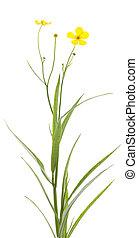 ranunculus lingua - single flower (ranunculus lingua) on...