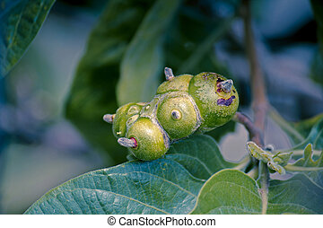 Fruit of Morinda citrifolia, great morinda, Indian mulberry,...