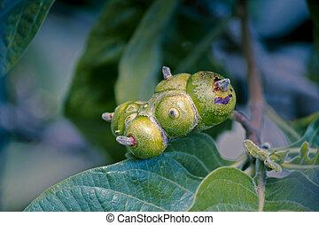 Fruit of Morinda citrifolia, great morinda, Indian mulberry,...