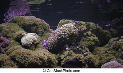 Actinia seaweed under water - Multicoloured Actinia seaweed...