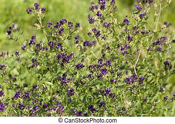 flower lucerne - bush of lucerne flower (Medicago sativa) on...