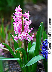 Vivid small pink flowers in a garden during Spring time