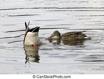 Duck diving. - A Mallard duck dives in the water while the...