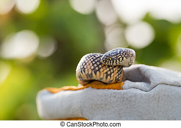 Lampropeltis getula meansi, commonly known as Apalachicola...