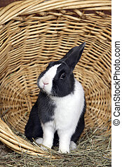 Rabbit Netherland Dwarf in basket - Domestic Rabbit...