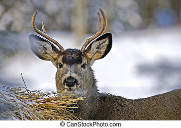Mule Deer Buck on hay bale - Mule Deer Buck feeding from Hay...
