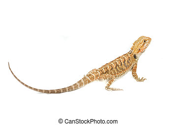 Juvenile Bearded Dragon Pet. (Pogona)