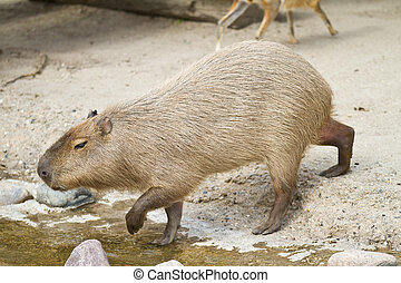 capybara - Zoo animals in copenhagen Denmark