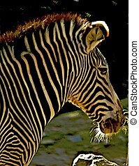 Image of an African Zebra with the morning sun highliting...