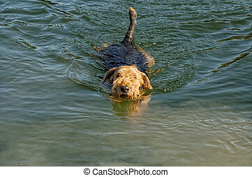 swimming dog - swimming Airdale