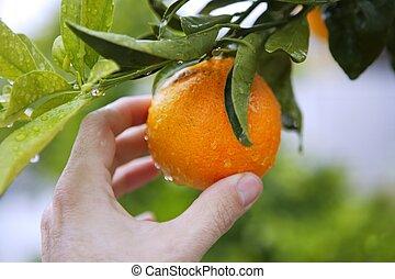 orange on tree human hand holding fruit