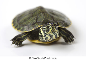 Slow turtle - Turtle walking in front of a white background