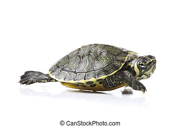 Reptile - turtle - Turtle walking in front of a white...