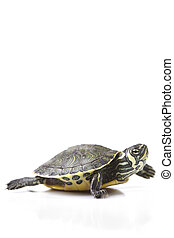 Baby Turtle - A photo of a turtle on a white background