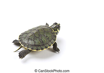 Sea turtle - A photo of a turtle on a white background