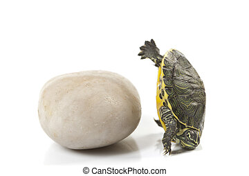 Reptile - turtle - A photo of a turtle on a white background
