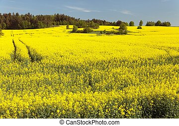 Field of rapeseed brassica napus with rural road - plant for...