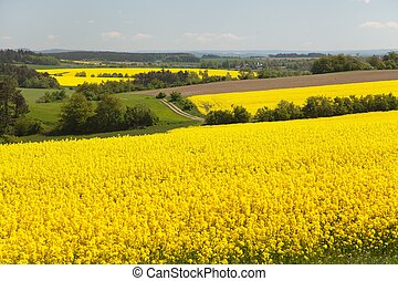 View of flowering field of rapeseed - brassica napus - plant...