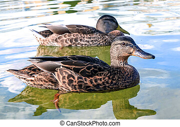 Ducks swim in the lake Beautiful birds close up Pair of...
