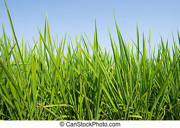 Fresh Grass land under blue sky, nature concept.