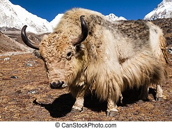 Yak on the way to Everest base camp and mount Pumo ri -...