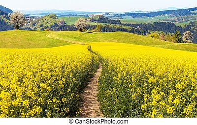 field of rapeseed (brassica napus) with rural road - plant...