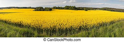 flowering field of rapeseed - brassica napus - Panoramic...