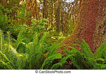 Rain Forest - Hoh Rain Forest, Olympic National Park,...