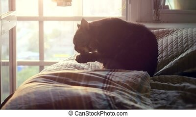 Big Maine Coon cat sitting on the bed at sunlight and...