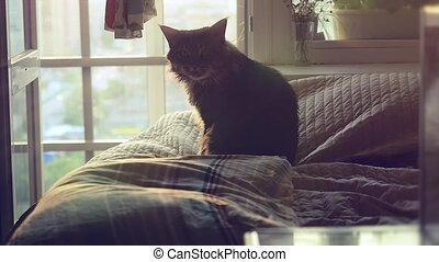 Big Maine Coon cat sitting on the bed at sunlight and washes...