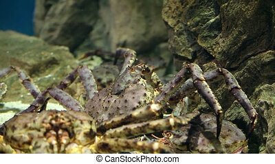 Sleeping giant crabs - giant japanese crab close to