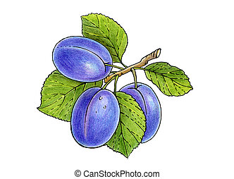 three plums on a branch with leaves isolated on white