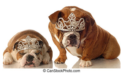 two english bulldogs wearing tiara isolated on white background