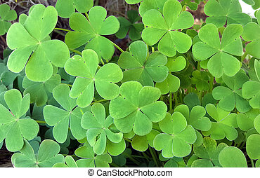 Three leaf clovers background