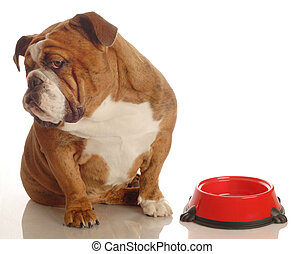 english bulldog turning her nose up to an empty food dish -...