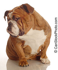 red brindle english bulldog with a bad attitude