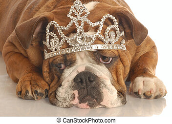 english bulldog wearing diamond studded tiara isolated on...