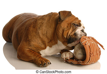 english bulldog playing with baseball and baseball glove