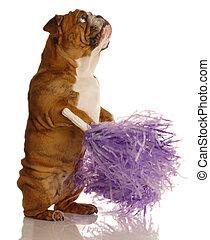 english bulldog holding cheerleading pompoms isolated on white background