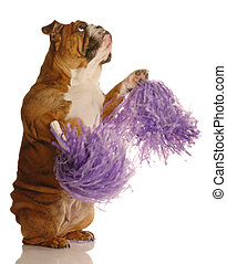 english bulldog holding cheerleading pompoms isolated on...
