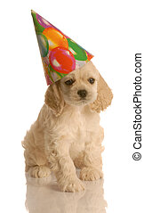 american cocker spaniel puppy wearing cute birthday hat