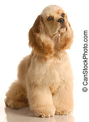 american cocker spaniel sitting- six months old - isolated...