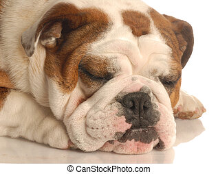 english bulldog sleeping isolated on a white background