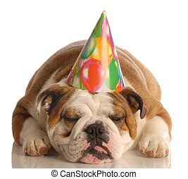 english bulldog wearing birthday party hat isolated on white...