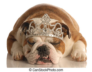 english bulldog wearing princess crown or tiara isolated on white background